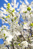 White sakura blossom. Plum tree white blossom with blue sky on background. White sakura Royalty Free Stock Photos