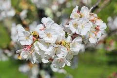White Sakura Stock Images