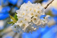 White Sakura. Bunch of white Sakura flowers with blue sky in background Royalty Free Stock Images