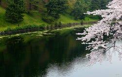 White sakura cherry blossom on river banks. Royalty Free Stock Image