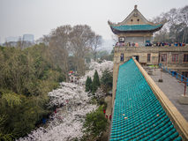 White sakura flower in Wuhan University Stock Photos