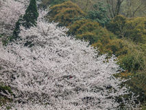 White sakura flower in Wuhan University royalty free stock image