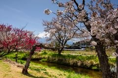 White sakura with mount Fuji, Yamanashi. Closeup white sakura or cherry blossom around the canal at Oshino Hakkai village with Mt. Fuji background during spring stock photos
