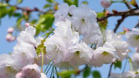 The white sakura tree fluttering in the wind against the blue sky stock video