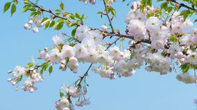 The white sakura tree fluttering in the wind against the blue sky stock footage