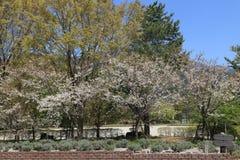 White sakura tree Royalty Free Stock Photo