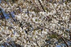 White sakura tree Royalty Free Stock Image