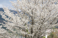 White sakura tree Stock Photography