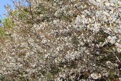 White sakura tree Stock Images