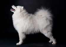 White Samoyed. Isolated on black Stock Photography