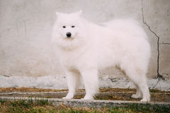 White Samoyed Bjelkier Dog Standing Outdoor on Stock Photography
