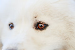 White Samoyed dog Royalty Free Stock Photo