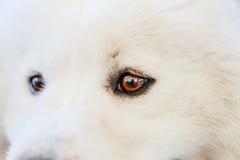 White Samoyed dog. Close up portrait Royalty Free Stock Photo