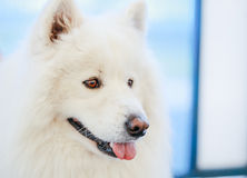 White Samoyed dog Stock Image