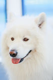 White Samoyed dog Stock Photography