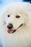 White Samoyed Dog Stock Photos