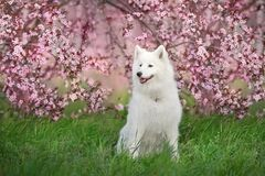 Free White Samoyed Dog In Blossoming Tree Royalty Free Stock Images - 182616929