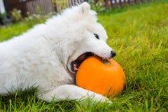Free White Samoyed Dog Is Eating Halloween Pumpkin. Stock Photo - 161132190