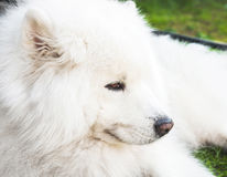 White Samoyed dog lays on a green grass Royalty Free Stock Photo