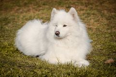 White samoyed dog with long soft hairs lying in the autumn grass with a pine cone next to him. A white samoyed dog with long soft hairs lying in the autumn grass Royalty Free Stock Photography