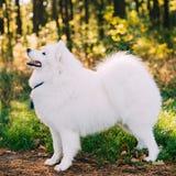 White Samoyed Dog Looking Up in Park Royalty Free Stock Image