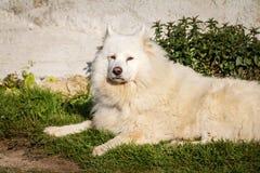 White Samoyed dog lying on grass Royalty Free Stock Images