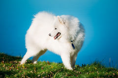White Samoyed Dog Outdoor in park on background of Royalty Free Stock Images