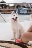 The white samoyed dog Royalty Free Stock Photography