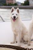 The white samoyed dog Royalty Free Stock Photo