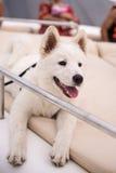 The white samoyed dog Royalty Free Stock Images