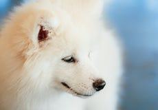 White Samoyed Dog Puppy Whelp Royalty Free Stock Images