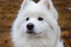 White Samoyed Dog. Puppy Whelp Close Up Portrait Royalty Free Stock Photo