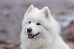 White Samoyed Dog. Puppy Whelp Close Up Portrait Stock Photography