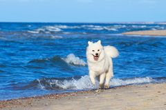 White Samoyed dog runs along the beach near the sea. Soft focus, selective focus Royalty Free Stock Photo