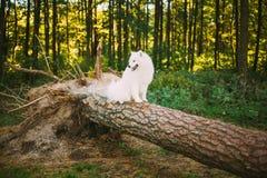 White Samoyed Dog sitting on fallen tree in park Stock Image