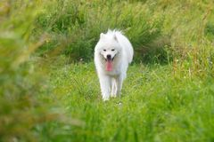 White Samoyed dog walking on the grass on a hot summer day sticking out his tongue. White Samoyed dog walking on the grass on a hot summer day sticking out his stock images
