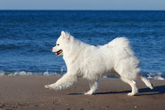 White Samoyed dog walks near the sea. Royalty Free Stock Photography
