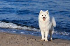 White Samoyed dog walks near the sea. Royalty Free Stock Image