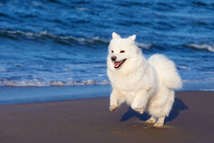 White Samoyed dog walks near the sea. Royalty Free Stock Images