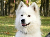 White samoyed portrait. In park in early autumn Stock Photo