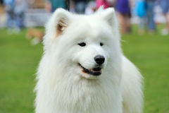 White Samoyed portrait Stock Images