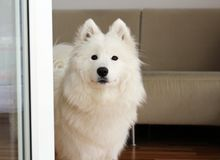 White samoyed puppy dog female looking up Royalty Free Stock Photos