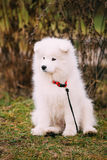 White Samoyed Puppy Dog Outdoor in Park Stock Images