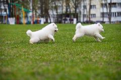 White Samoyed Puppy Dog Stock Images