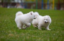 White Samoyed Puppy Dog Stock Photography