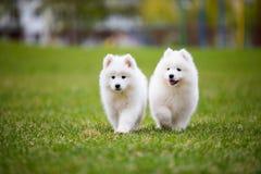White Samoyed Puppy Dog Stock Photo