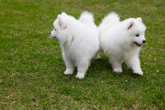 White Samoyed Puppy Dog Royalty Free Stock Images