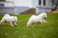 White Samoyed Puppy Dog Royalty Free Stock Image