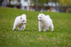 White Samoyed Puppy Dog Royalty Free Stock Photos
