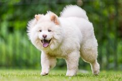 A White Samoyed Puppy looking happy walking across a field with mouth open and tongue out. Cute white fluffy dog with long fur in the park, countryside royalty free stock photos